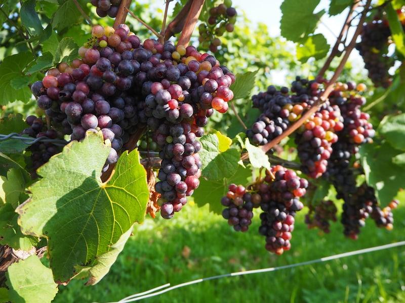 Blick in den Weingarten des Schilcherweinguts: Am Beginn steht wie bei jedem Qualitätsweingut die sorgfältige Auswahl und Verarbeitung der Trauben.