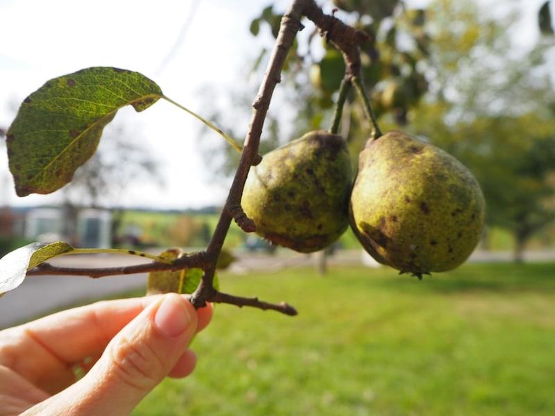 ... ich liebe mir ja den Geschmack der hier wachsenden Birnen- und Apfelsorten ...