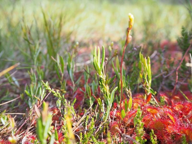 Sonnentau im Hochmoor: Mitten hinein in die Natur ...
