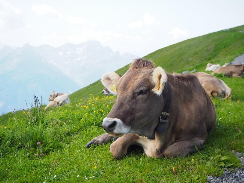 Die Kühe nehmen's indes gelassen ...