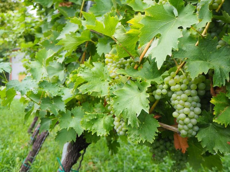Auch Wein ist - noch viel länger, vermutlich schon seit Beginn der tausendjährigen Geschichte des Klosters ...